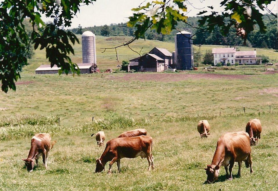 Cows in trees below barn