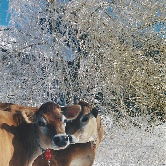 Cows friends in after ice storm sun